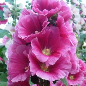 Цветок Мальва фото