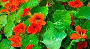 Цветок Настурция фото