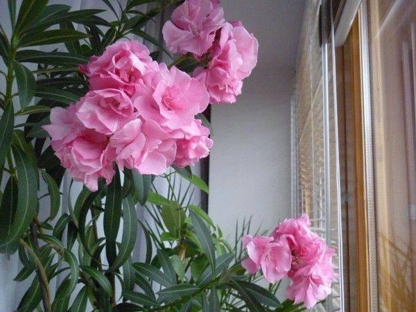 Олеандр махровый розовый фото