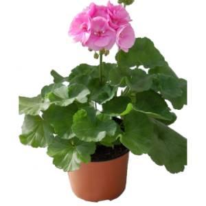 Цветок Пеларгония фото