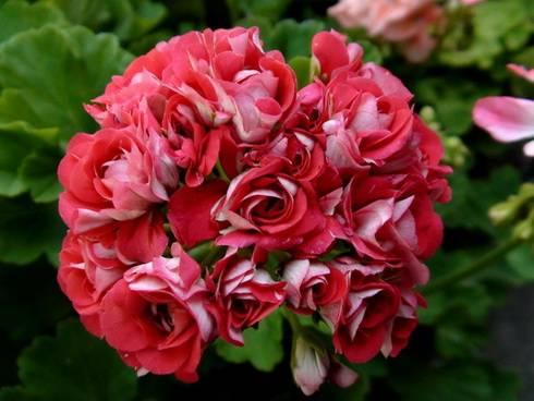 Розебудная пеларгония фото