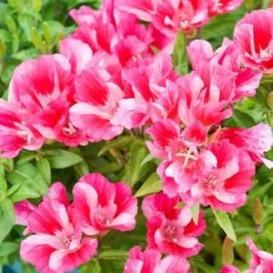Цветок Годеция фото