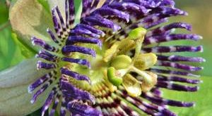 Цветок Пассифлора фото