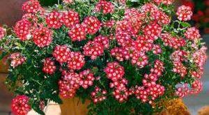 Цветок Вербена фото