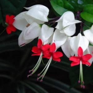 Цветок Клеродендрум фото