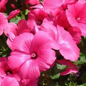 Цветок Лаватера фото